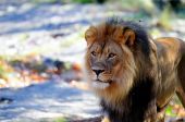 stock photo of foodchain  - A lion surveys all that he is the king of - JPG