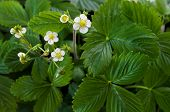 Wild Strawberry Flowers - Fragaria Vesca