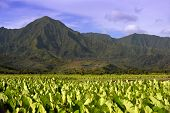 Beautiful Image of the ancient Taro fields of Kauai,Near hanalei.