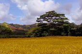 beautiful Agriculture image of growing Fields on kauai, Hawaii