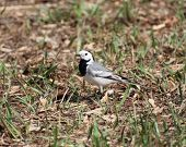 Wagtail On The Lawn