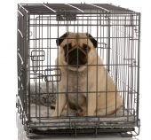 stock photo of sad dog  - pug sitting in a wire dog crate looking out a viewer - JPG