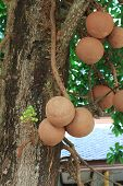 Cannonball Tree Or Sal Of India