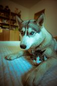 The dog hugs a cat. Cute blue-eyed husky puppy and little pussy
