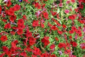stock photo of petunia  - The top view on a bed of garden petunia - JPG