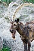 Male Siberian Ibex
