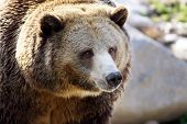 Big Grizzly Portrait