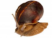 Earthy brown snail in the shell photographed close.