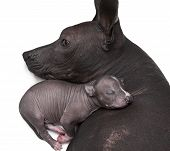 Newborn Xoloitzcuintle Puppy With His Mother