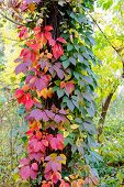 stock photo of creeper  - Yellow red and green Virginia Creeper leaves on a maple trunk in autumn - JPG