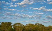 picture of lapacho  - Profile of ipe trees with cloudy sky at brazilian pantanal - JPG
