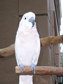 picture of polly  - White parrot on tree limb - JPG