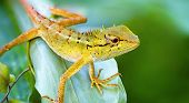 stock photo of lizard skin  - Forest lizard on the grass close up - JPG