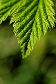 Hairy Leaves