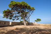 Pine tree in a medieval fortress