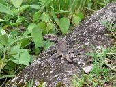 Himalayan Agama Lizard Blends In Rock