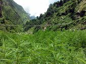 stock photo of nepali  - A large wild marijuana field commonly found in the lower Nepali Annapurna Himalayas - JPG
