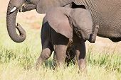 foto of calves  - Small elephant calf play in long green grass and having a lot of fun - JPG