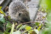 Young Hedgehog In Garden