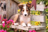 Shetland Sheepdog puppy on rustic wooden bench