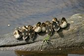 Duckling Chillout