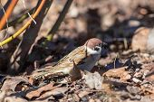 Sparrow On Fallen Autumn Leaves
