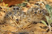 Burchell's Sand Grouse Chicks - African Wildlife Background - Baby Animals in Camouflage