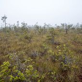 Bog Landscape With Trees In Swamp