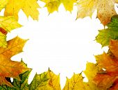 Maple Leaf. Frame