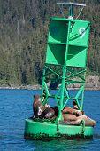 Sea Lions in Prince William Sound