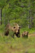 Brown Bear With Cub In The Forest