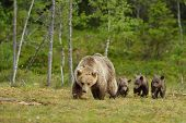 stock photo of bear-cub  - Brown bear with cubs in the bog - JPG