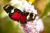 picture of dory  - Close up of the Butterfly Heliconius doris - JPG