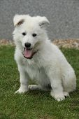 picture of swiss shepherd dog  - Beautiful puppy of White Swiss Shepherd Dog sitting in the garden - JPG