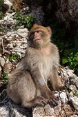 foto of gibraltar  - Gibraltar Monkeys or Barbary Macaques tourist attraction at the Monkey - JPG