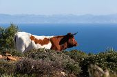 stock photo of sea cow  - cow with horns on hill in andalusia - JPG