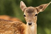 Fallow Deer Calf Looking At Camera