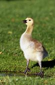 picture of f4  - Canadian Goose gosling - JPG