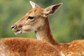 Profile Of A Fallow Deer Doe