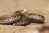 image of venom  - venomous snake ready to attack meadow adder  - JPG