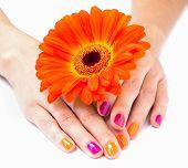 Women's hands with orange gerbera flower