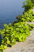foto of choke  - Ivy chokes the supporting wall near a small coastal town on Lake Garda - JPG