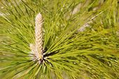 pic of pine-needle  - Core of a pine tree with the cone or bud developing amidst the green pine needles.