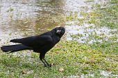 Close Up Face Of Black Bird Crow Perching On Green Grass Field