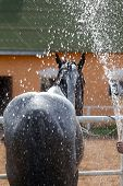 Black Horse On A Stable Wash With A Strong Stream Of Water