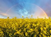 picture of rape-seed  - Rape yellow field with rainbow in Slovakia - JPG