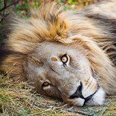 Alert Lion Lying Down