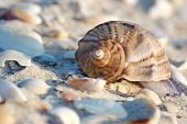 Empty Seashell Of Marine Mollusc Rapana Venosa On The Black Sea Coast