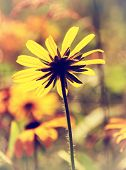 image of black-eyed susans  - A close up of a black eyed susan flower from behind - JPG