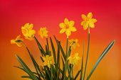 Yellow Daffodils On Color Gradient Background